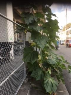 この樹木の名前を教えて下さい。駐車場の脇に生えてます。木の幹(茶色)、高さに比べ葉が大きく、数も多いのが特徴です。