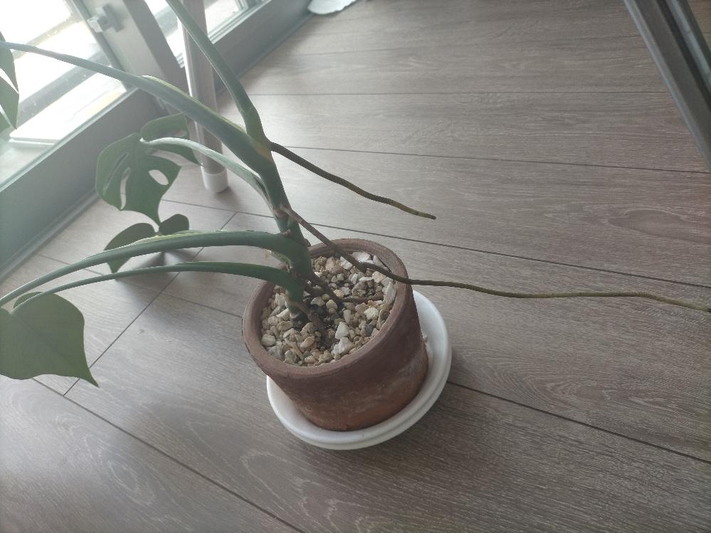 植物に詳しい方助けてください。 家の観葉植物が元気がなくて下向いてるし変なとこから根(?)が生えています。 どうやったら元気に真っ直ぐ生えてくれますか? 水はちゃんとやってるつもりなんですが...