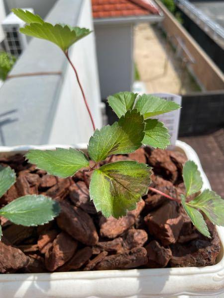 1週間前にホームセンターでイチゴの苗を買い、葉っぱが写真のように黒くなってしまったのですが致命的な病気か何かでしょうか? また病気だった場合他の植物にも移るものでしょうか? 園芸初心者のためご教示いただければ助かります。 よろしくお願いいたします。