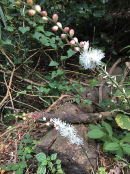 花の咲いているこの植物の名前を教えてください。 横浜市内の樹林地の園路沿いに生えていました。 写真が少しぼやけていてすみません!