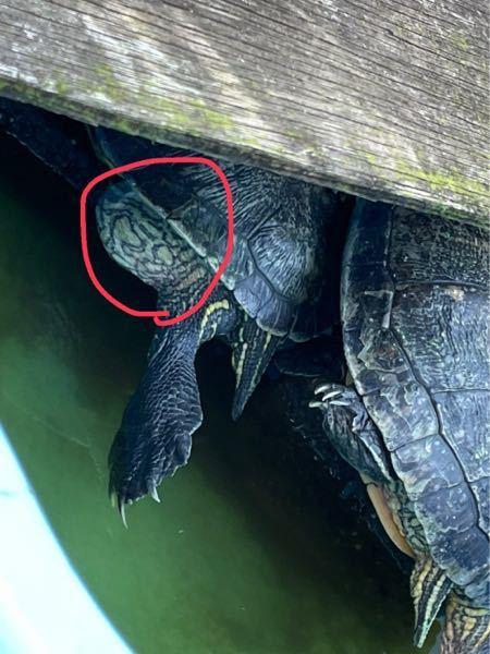 亀の左後ろの膨らみのような出っ張っぱりがあるのですが、これは何かの病気ですか?
