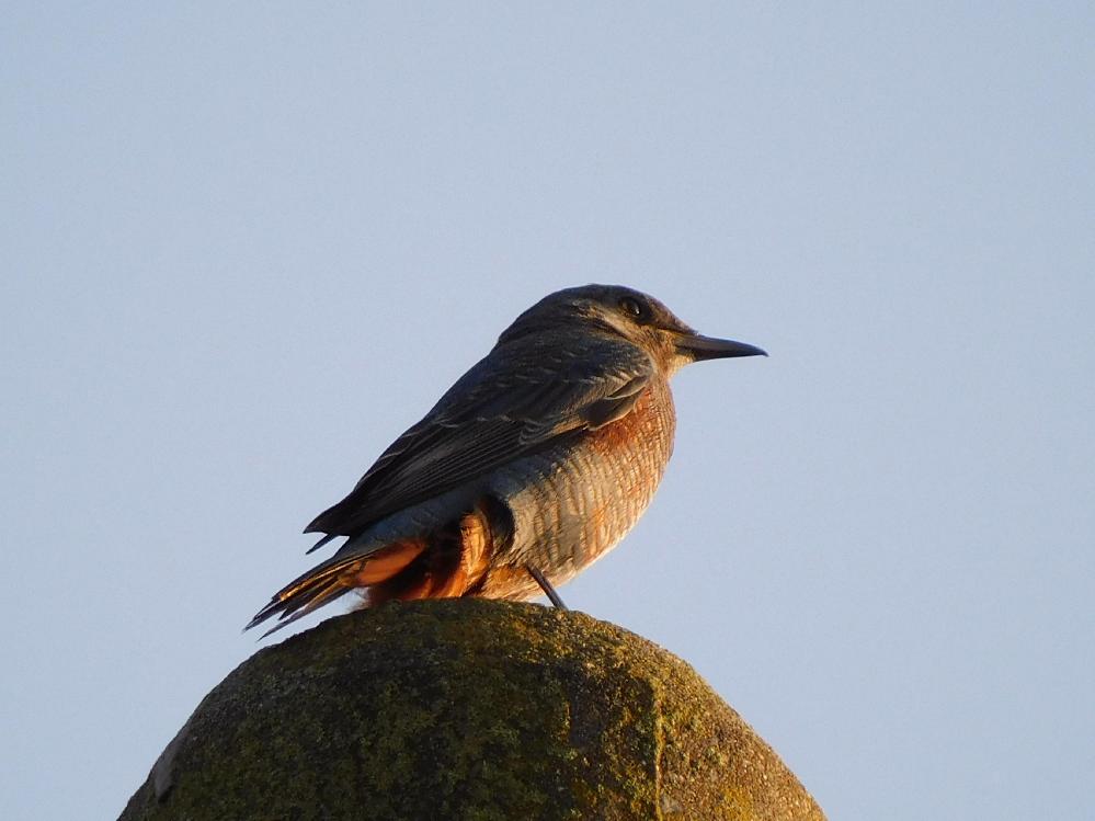 この子は何と言う名前の鳥ですか?朝日を浴びていたので、分かり難いです。すみません。