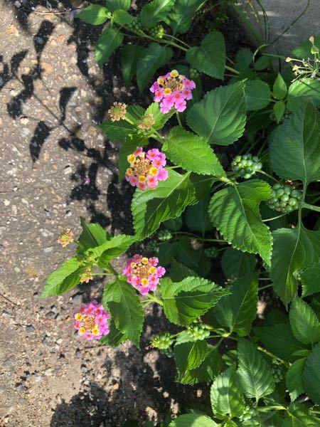 トゲがある花です 何の花かわかる方教えてください 家のそばに咲いています どうぞよろしくお願い致しますm( )m