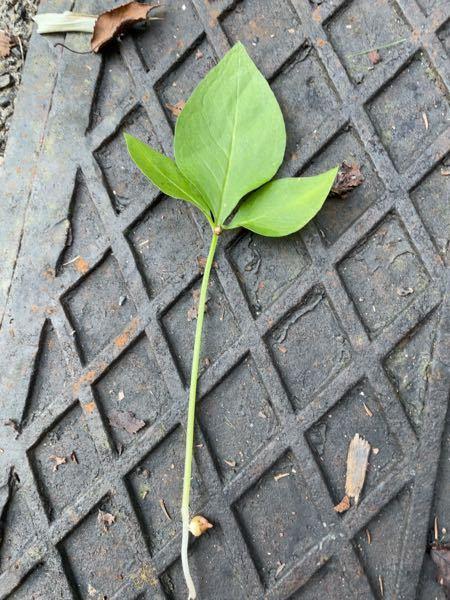 この植物の名前を教えて下さい! (葉の付け根にムカゴのような実がついてました)
