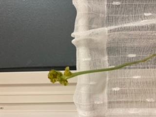 おうちでアロエフラミンゴを育てています。 今年の夏は、何故だか2度花をつけました。 子株が出てきたら、小さいポットにたくさん分けたいなぁと妄想していたのですが… 2度目に花をつけた際、茎の先に...