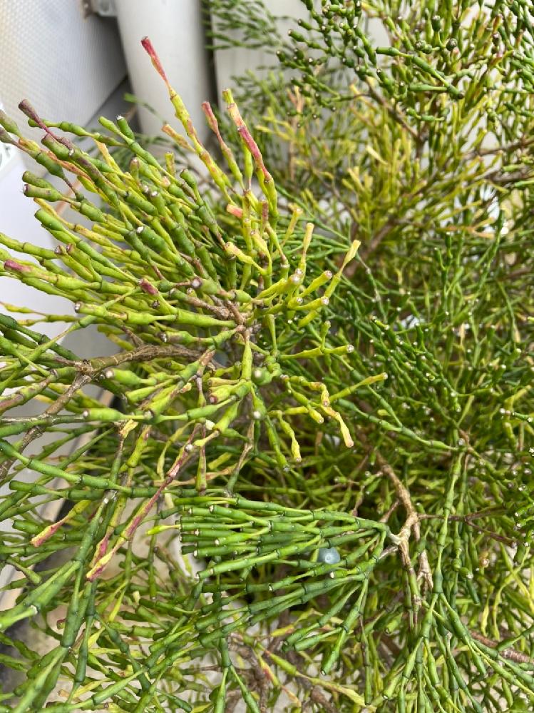 この植物の名前・正体が知りたいです。 オレンジの花がつき、寒冷地では路地で越冬できないそうです。