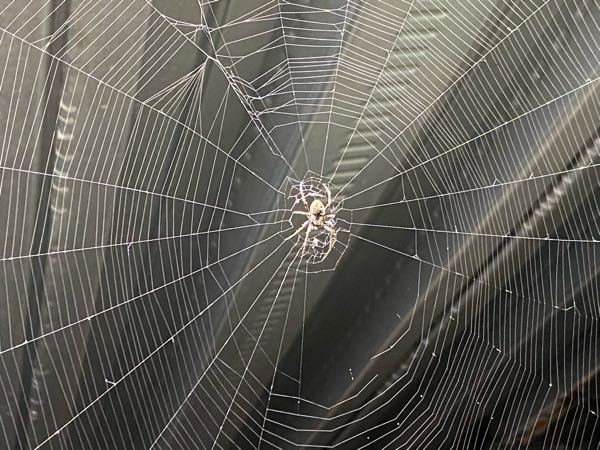 この蜘蛛の名前わかる方いますか? 場所は千葉県の屋外で、脚を含めて1.5cmほどの大きさでした。 職場の休憩所に直径1mほどの立派な網の巣があり、気になったので質問させていただきました。