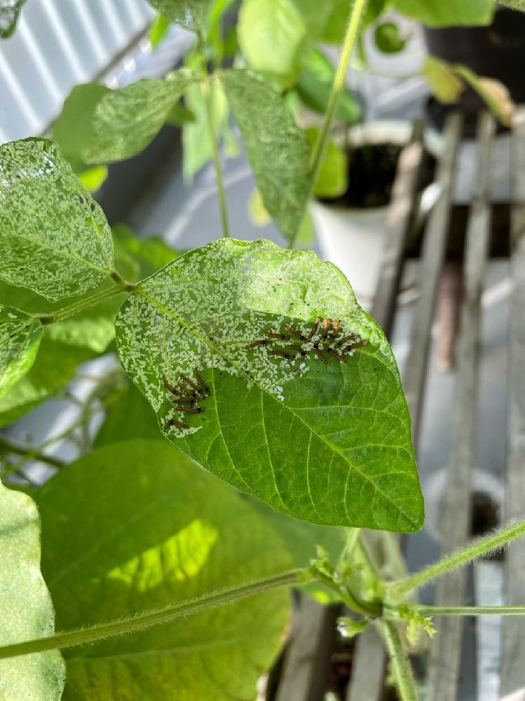 ベランダの植木鉢に植えた黒豆の葉っぱがこの数日のうちに大量に食い荒らされてしまいました。この虫の正体はなんでしょうか?また収穫を目論んでいる枝豆に影響ないように駆除する方法が知りたいです。