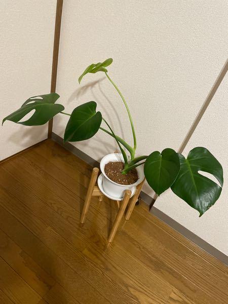 モンステラを苗木で購入して、 半年経ちました。 購入した際に、すでに根腐れを 経験しています。 復活して、新芽が2回出倍以上 大きくなったと思うのですが、 横に長く伸びてきてしまいました。 鉢替えが必要でしょうか? その際、どのくらいの大きさの鉢を選んで 鉢替えしたほうが良いでしょうか? アドバイスよろしくお願いします!