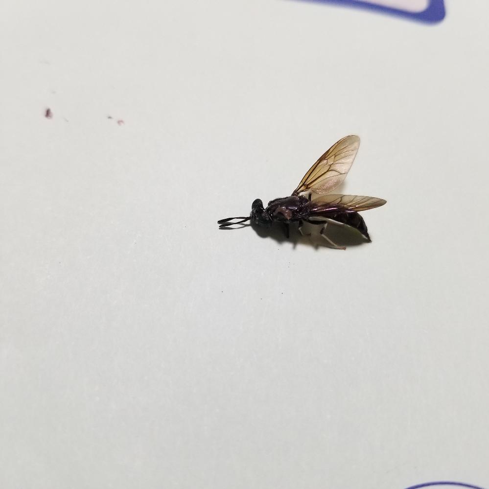 この虫はなんという虫でしょうか。 部屋にでて、針があったのでびっくりしました。