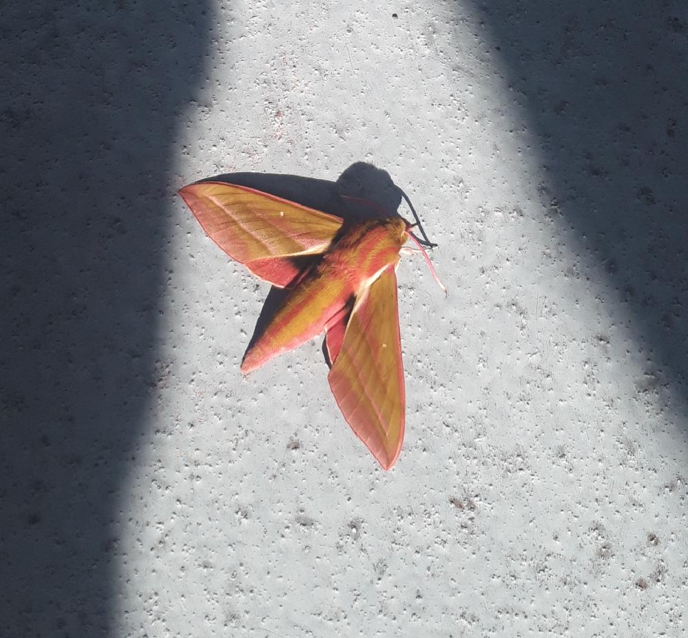 この蛾はなんと言う名前ですか? 図鑑でしらべましたが形が似ている蛾はいましたが、よくわかりませんでした。