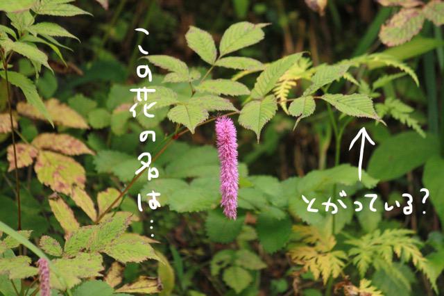 山野草や高山植物に詳しい方。この花の名前は何でしょうか? 昨日標高1300ほどの山で撮影したのですがこの花は何でしょうか? 調べるとたカライトソウ?と思ったのですが、葉っぱの先が尖っていて少し違うような気がしました。 カライトソウの仲間なんでしょうか。 詳しい方いらっしゃいましたらよろしくおねがいいたしますm(_ _)m