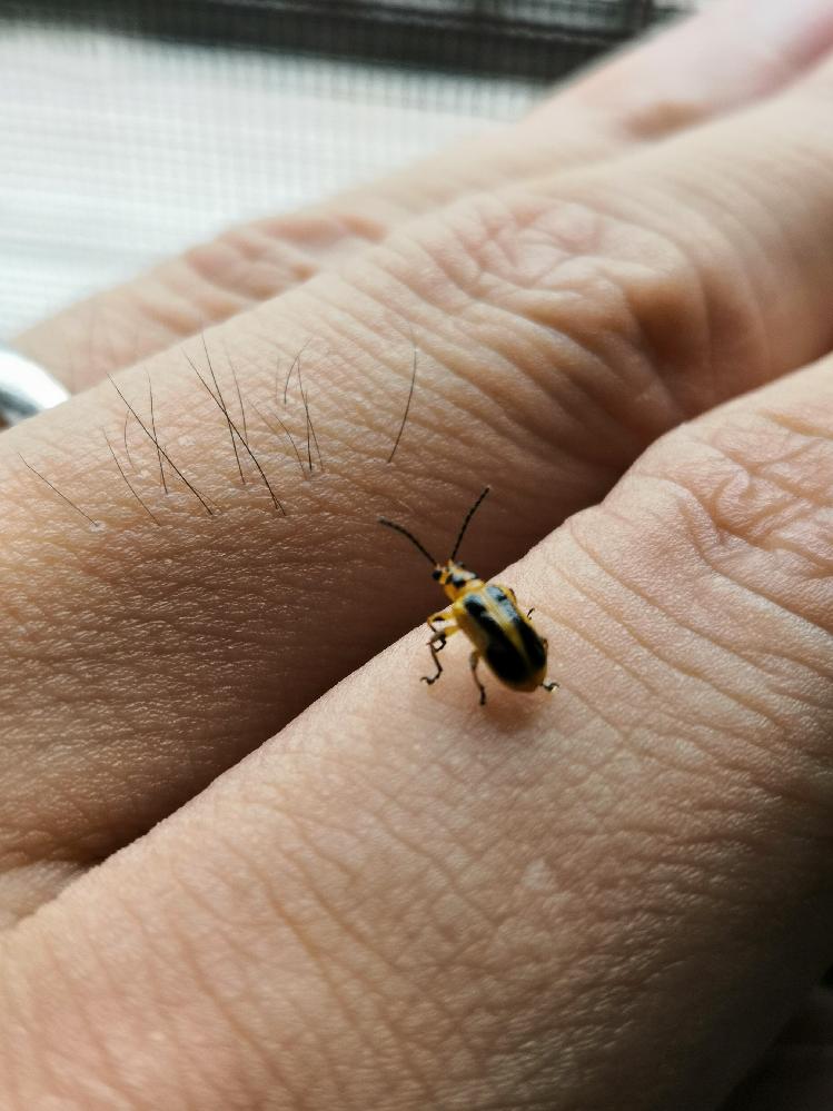 この昆虫の名前は何でしょうか? 家の中でたまたま見かけた昆虫です。種名を調べようとしたのですが、うまく見つけることができませんでした。 黄色に黒が混ざっており、大きさは5mm程度です。ハムシの仲間とかでしょうか? 詳しい方、教えていただけると嬉しいです。