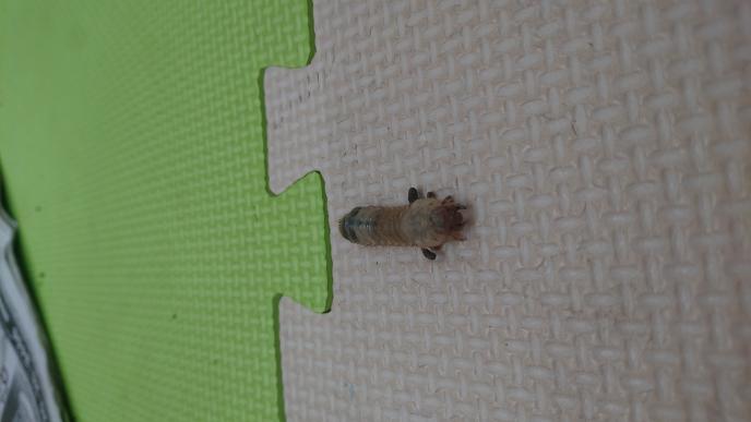 カブトムシ、カナブン、クワガタ、コガネムシの幼虫の見分け方を教えて下さい。 この画像は何の幼虫でしょうか?