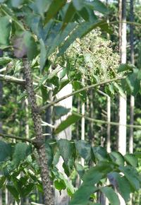 トゲトゲの木の名前を教えてください、 岐阜県川辺権現山で、 撮影20210925