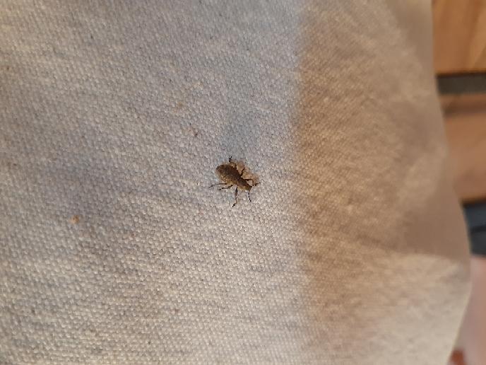 既出かもしれませんが、こちらの虫の名前を教えていただけませんか? 最近1階寝室や廊下で毎日2~3匹ずつ出没するので少し気味が悪くて… 色々自分なりに調べてみた感じ、クチキムシなのかなとも思うのですが。 よろしくお願いします。