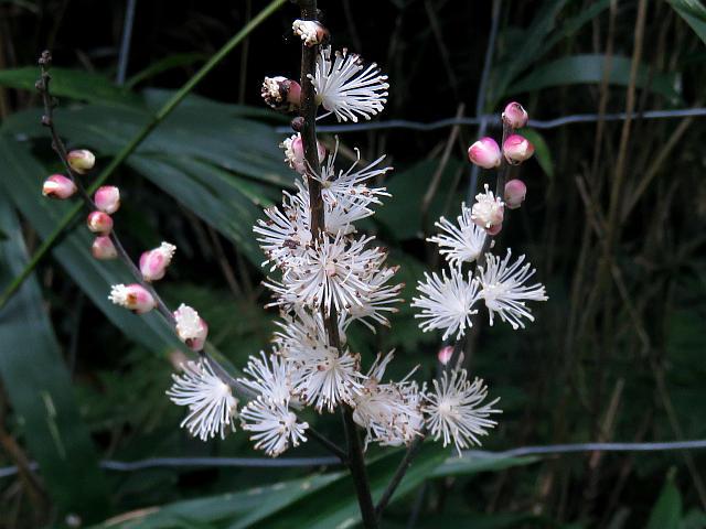 この花をご存知の方、名前を教えてください。9月上旬に奈良県の里山で見かけました。