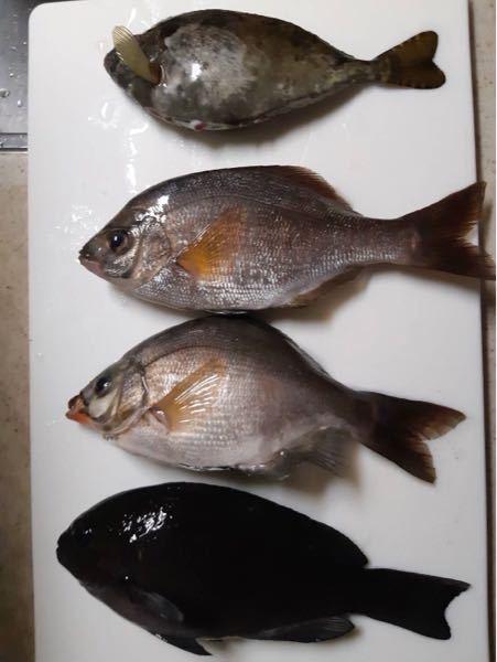 義理の弟が、釣ってきた魚なのですが、名前が解らなく食べらるのか不安です。 解る方がいらっしゃいましたら教えていただきたいです。 よろしくお願い致します。