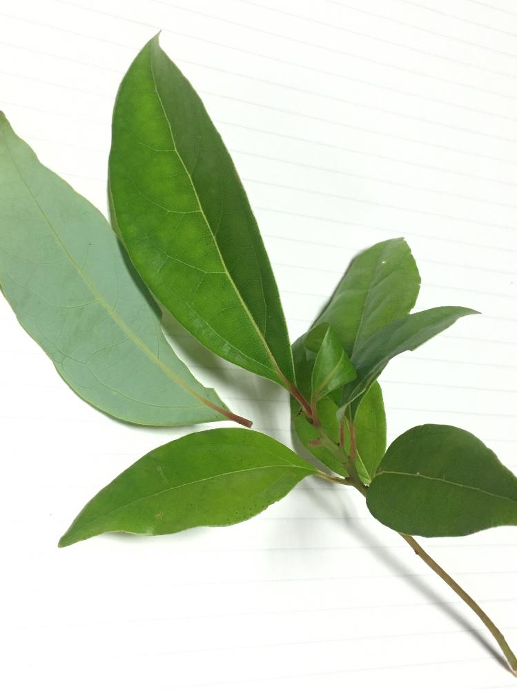20センチくらいの、同じような木の幼苗が何本か生えています。これは何の木の苗でしょうか。