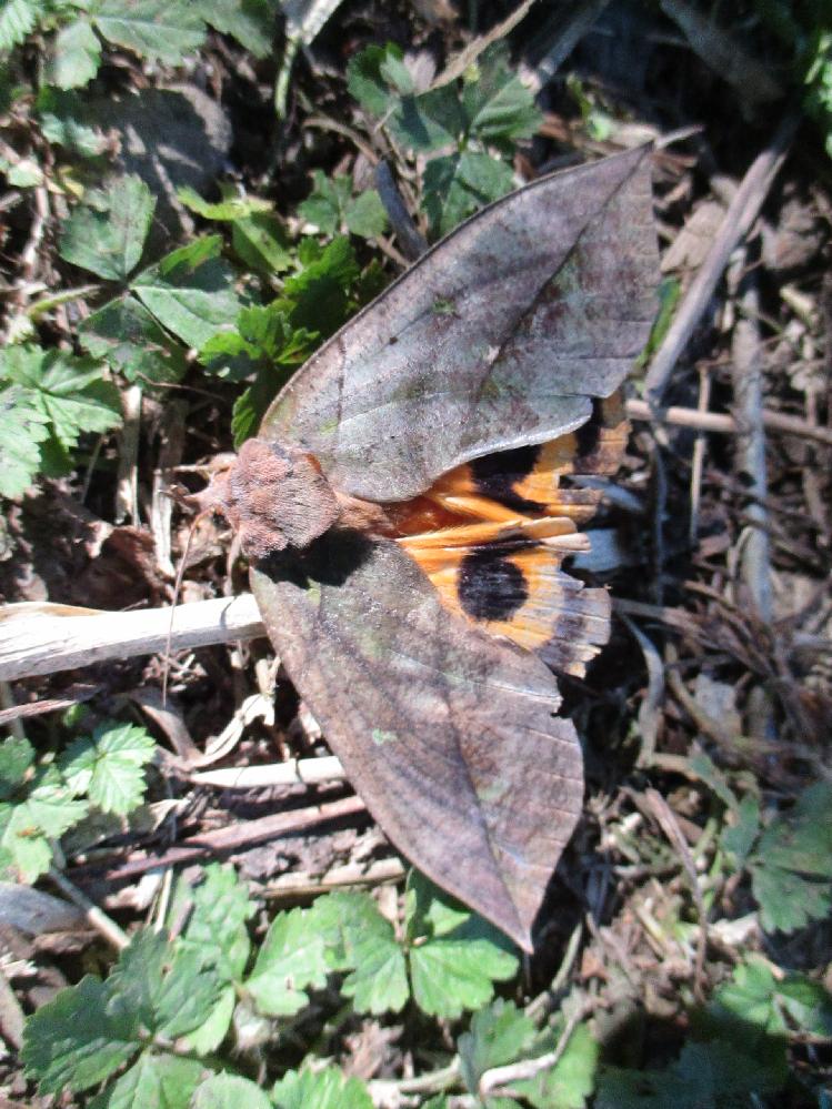 この擬態の昆虫の名を教えてください。アケビコノハだとは思うのですが・・。