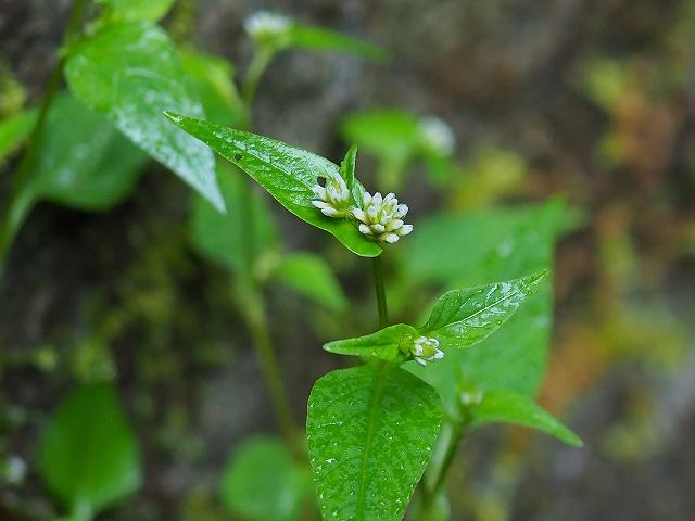 写真の植物の名前を教えてください。 急いでいたので写真はこれ1枚きりです。 水際に生えていて、葉はミゾソバともアキノウナギツカミとも違うように思います。 お分かりになる方、よろしくお願いいたします。