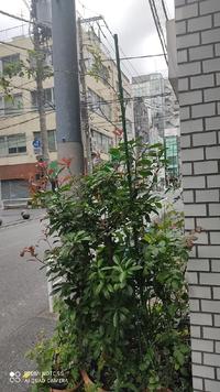 ピエールドゥロンサールが2年目で2m以上に育ちました。 ビルの1階の片隅に鉢植えで育てていますが、今後、誘因するには何が適していますか? 育ち過ぎるとビルの1階片隅じゃダメでしょうか? 屋上で育てた方がいいでしょうか? 初心者なのでアドバイスお願いします。