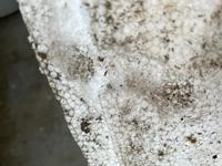 コガネムシの幼虫 メダカのベランダ飼育  寒暖差対策で梱包用発泡スチロール箱の中に、発泡スチロール製のメダカ飼育容器を入れてます。 夏は外箱にも水をはってますが、最近やたらに外箱の水が減ると思っていたらコガネムシの幼虫の死骸が出てきました。 多分、コガネムシだと思います。  1、幼虫が発泡スチロールを食い荒らしたようです…何でも食べるんですね… 一度発泡スチロールの箱に卵を産ま...