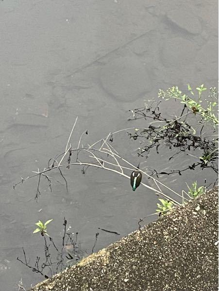 カワセミかと思って写真を撮ったんですが… 後になってGoogleでカワセミを画像検索したら後ろ姿も真っ青で、この鳥は一体なんですか…?
