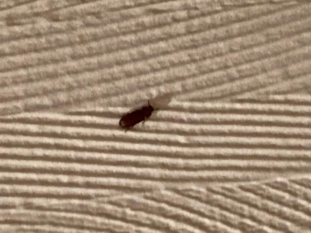 この写真の虫はなんという虫ですか? 今月鉄筋コンクリートの一軒家に引っ越したんですが田舎というせいもあってか部屋の中にかなりの数がいてものすごく不快です。 3〜4mmくらいの大きさで赤茶色をしていて地面に対して身体をほぼ垂直に、羽が円盤の様に見える飛び方をします。窓は一切開けておらず、実際夜中になると窓に寄ってくる小さい虫達は部屋の中で見たことがありません。他に思いつくのは換気用?の穴とエアコン、出入口だけ。どこか壁に隙間があってそこから入るのか… それからごく稀にですが蟻を見かけることもあります。 対策をする為にも、また害が無いのか知るためにもこの虫の名前が知りたいです。 よろしくお願いします。
