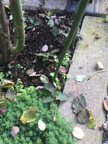最近画像の様に葉っぱがパラパラと落ちてしまいます。 今まで(去年まで)この様な事が無かったので質問させて頂きます。 ちなみに消毒なども例年通りの定期散布です。 黒星病の症状もないですが木を揺するだけで散ってしまいます。 もしかすると「ベト病」でしょうか? 宜しくお願い致します。