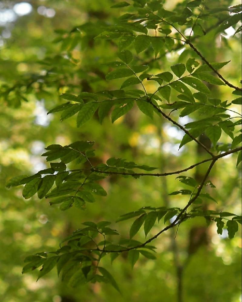 この樹木はアオダモでしょうか?