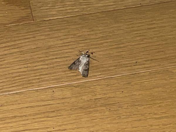 (虫の死骸につき閲覧注意) 先程殺した虫なんですけど、種類わかる方いませんか?
