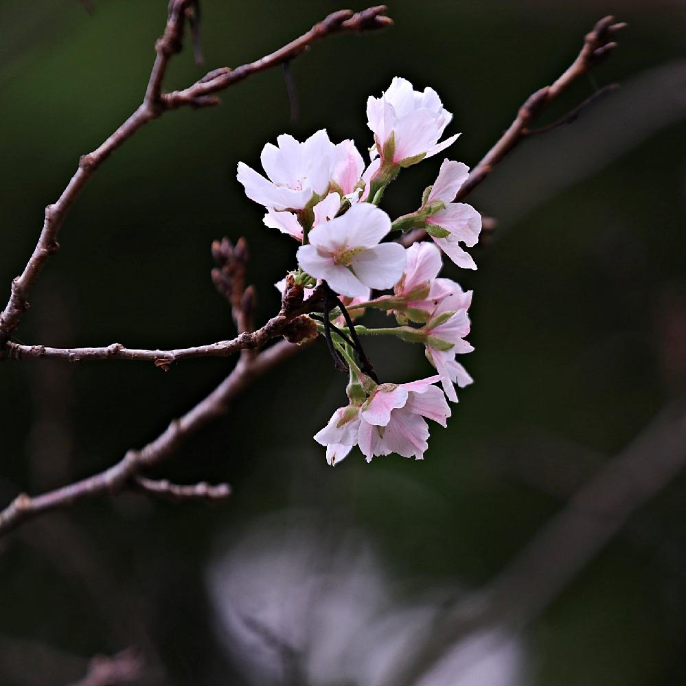 昨日散歩中に桜が咲いてました。狂い咲きでしょうか?この桜の種類が知りたいです 宜しくお願いします。