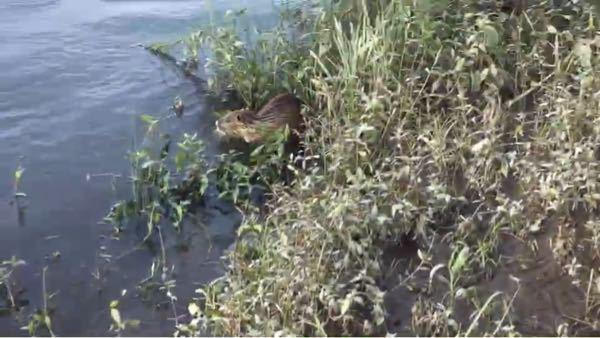 この動物の種類が分かる方いらっしゃいますか? 大阪府の淀川です。