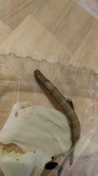 プランターのミントの枝についていたこの幼虫はなんの幼虫ですか? また、育て方を教えて頂きたいです。