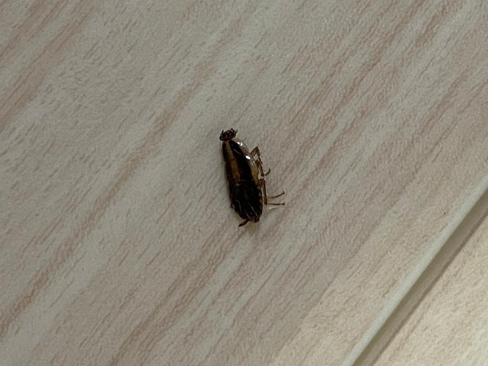 【画像】ゴキブリに似た虫が台所に出たのですが、この虫は何ですか?