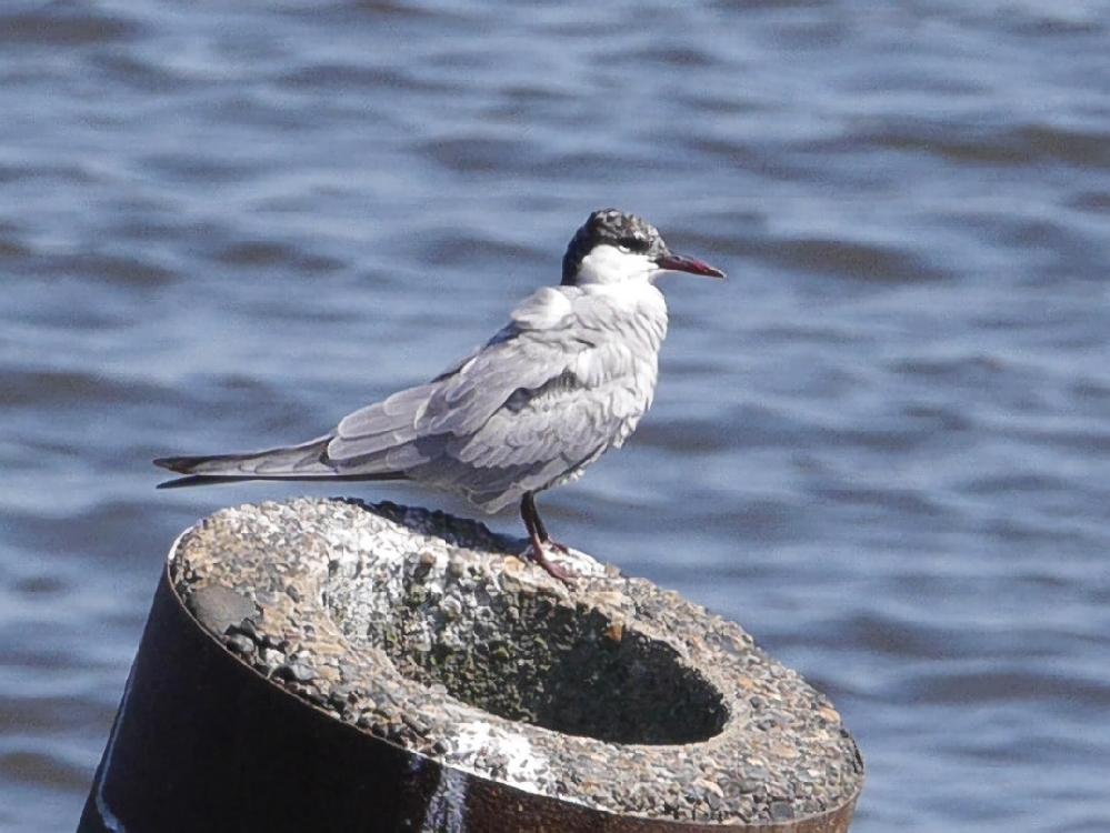 ブログの記事を作るために新潟市の鳥屋野潟に行ったら、私がこれまで見た記憶がない鳥がいたので、ちょっとした望遠レンズで撮影したのですが、この鳥の名前が分かる方はこの鳥の名前を教えてもらえないでしょうか。 かなりトリミングしているので画質が悪いですが、どうかよろしくお願いします。