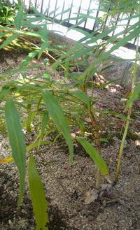 これ何という名前の植物か わかりますか? 庭に自生し、すくすく育っています。