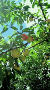 桃の栽培等にお詳しい方へお伺いをいたします。 ・ 桃は種からでも挿し木からでもよいのですが、山林や竹林などに自生をすることはあるのでしょうか。 ・ それとも、人間が手入れをしないと成長をしないのでしょうか。 桃の栽培等にお詳しい方からのコメント等をいただければ幸いでございます。