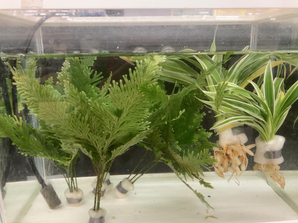 水草の名前教えてください。 右はオリヅルランでしょうか? 左はさっぱりです。