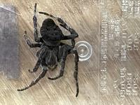 実家の庭先にいた蜘蛛なんですが何という蜘蛛かわからないのですが何という蜘蛛でしょうか?
