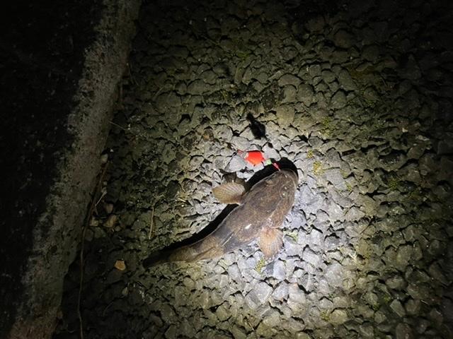この魚の名前を教えて下さい。 神奈川の引地川で釣れました。 ウロハゼ、ドンコのようにも見えます。