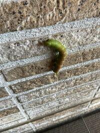 アゲハチョウの幼虫でしょうか?できれば何アゲハか教えて下さい。