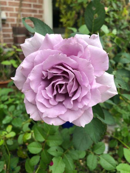 バラ ルシファーと爽の違いがわかる方、いらっしゃいますか? 同時に新苗を購入しましたが、タグを外してしまい分からなくなってしまいました。 このバラはルシファーでしょうか? 爽でしょうか?