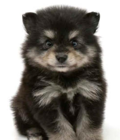 チップ25枚です。ポメラニアン、たぬき顔について。 お店でご購入を家族で検討している犬(犬種 ポメラニアン)がいるのですが この写真の子は将来たぬき顔とキツネ顔の何方になるでしょうか?