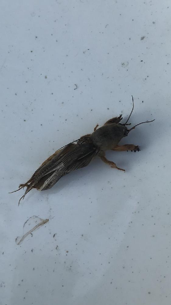 虫の種類を知りたいです。 今朝、玄関先の砂利の上で死んでいました。 シマトネリコの植木鉢の近くにいました。 なんの虫でしょうか?