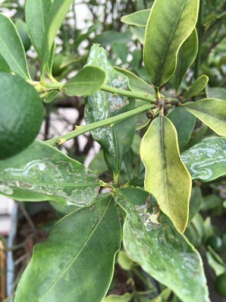 育てている大きな鉢植えの金柑の葉の表裏に半透明(人により白と表現するかもしれません)の何かしら病気と思われる症状が現れています。この病気であろう葉の割合は数十分の1ですが、それでもあっちこっち木を覆う葉 の全体にまばらに出ています。 細かくわかる方いましたら、病名と対処法を教えて下さい。 どうぞ宜しくお願い致します。