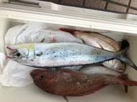 たまたま釣れましたが、何という魚でしょうか? 青い斑点があります。 よろしくお願い致します。