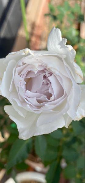 薔薇好きの方、育てている薔薇でお気に入りの品種や、オススメの品種はありますか?(自分の育てている薔薇は全てお気に入り!という方もいるかと思いますがその中でも特に気に入っている薔薇がありましたら教えて下 さい^ ^) 私のお気に入りの薔薇はガブリエル!です^_^