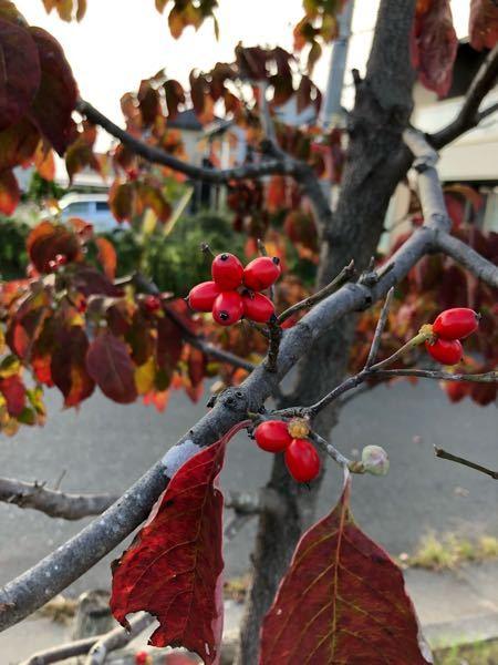 今の時期に赤い実のなるこの木は何という木でしょうか?